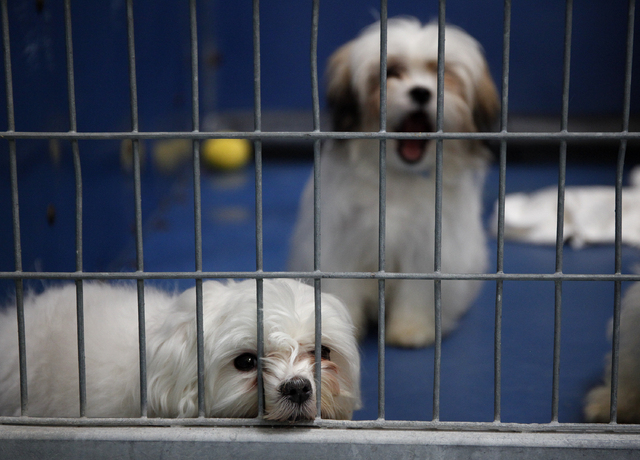 Rescued Malteses sit in a kennel at the Lied Animal Shelter on Tuesday. The animals, which survived a pet store fire, will be raffled off. (John Locher/Las Vegas Review-Journal)
