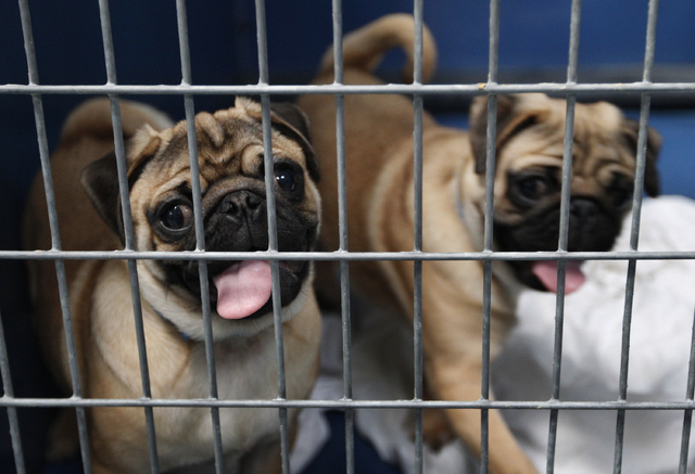 Rescued Pugs sit in a kennel at the Lied Animal Shelter on Tuesday. The animals, which survived a pet store fire, will be raffled off. (John Locher/Las Vegas Review-Journal)