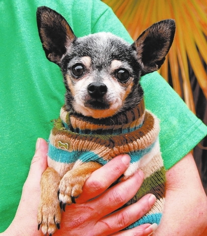 Eisenhower Nevada SPCA I may weigh only 4 pounds, but adopt me and you will have my enormous unconditional love and gratitude. My name is Eisenhower, and I'm a humble Chihuahua, 12 years old and ...