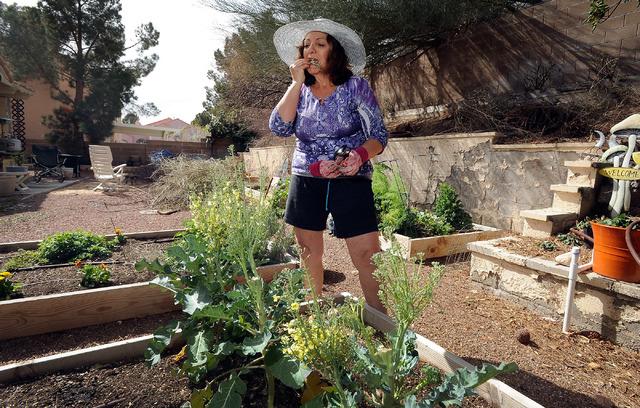 Master gardener Joann Reckling samples a freshly picked broccoli flower from her backyard garden, March 2. (David Becker/View)