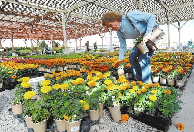 Erika Miyake Checks Out The Marigolds At Star Nursery On South Eastern Avenue In Las Vegas