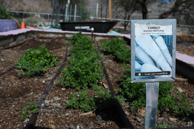 A carrot patch is seen at the Clark County Center for Urban Food Production in Las Vegas Saturday, March 1, 2014. Master gardener volunteers teach the Cooperative Extension's Junior Master Gardene ...