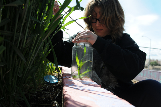 Erin Wilcox, 11, searches for insects in the garden at the Clark County Center for Urban Food Production Studies. Master gardener volunteers lead lessons in the Cooperative Extension's Junior Ma ...