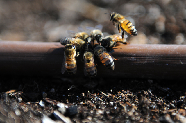 Bees drink water from a leaking hose at the Clark County Center for Urban Food Production Studies. The Junior Master Gardener program has been available to local children for more than 10 years. ( ...
