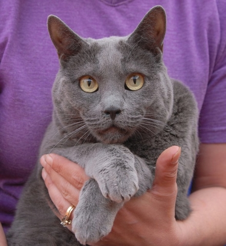 Anastasia Nevada SPCA Talk softly to me, and I'll snuggle close. I enjoy being held and adored for reassurance and comfort. My name is Anastasia, and I am a Russian blue, a 4-year-old spayed gir ...