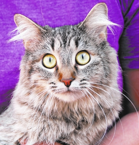 Blue Nevada SPCA I love being held and adored in kind arms. Kitty tubes and cardboard boxes give me hours of delight. My name is Blue, and I am a young, sandy brown tabby, a spayed girl, 1 year of ...