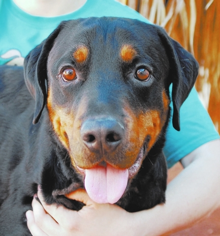 Gabriel Nevada SPCA I marvel at human kindness, and I am so eager to bless someone with my unconditional devotion. My name is Gabriel, and I am a baby-faced, hopeful young boy, a Rottweiler mix, 3 ...