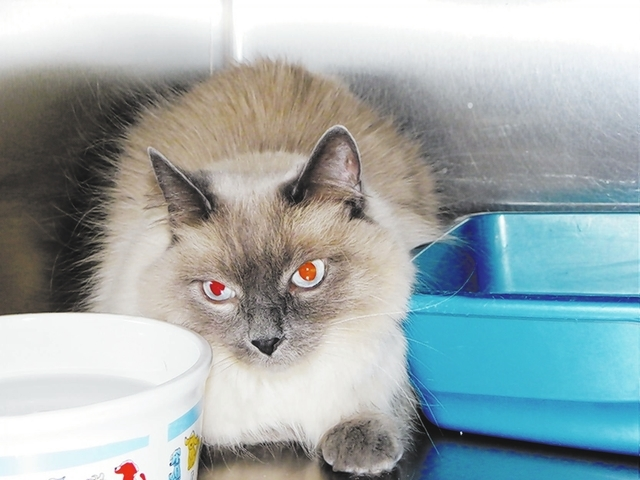 Bonnie Paws 4 Love Bonnie is a 5-year-old female Himalayan/Siamese mix. This beautiful girl's owner left her with a roommate and never returned. She is a quiet soul, has beautiful blue eyes and  ...