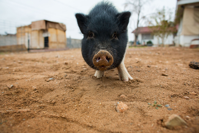 Danji,, a 74-pound pot-bellied pig, roots in the backyard of Crystal M. Kim-Han Friday, Feb. 28, 2014. Kim-Han, founder of the non-profit pig rescue VegasPigPets, is seeking the county's permissio ...