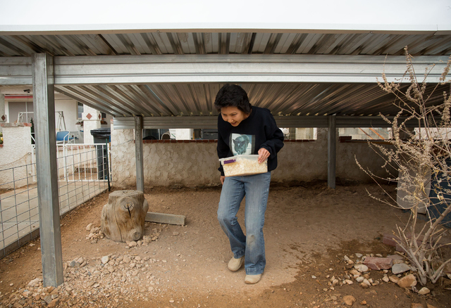 Crystal M. Kim-Han looks in a shelter for one of the pigs housed at her non-profit pig rescue, VegasPigPets, Friday, Feb. 28, 2014. Kim-Han is seeking the county's permission to house up to eight  ...