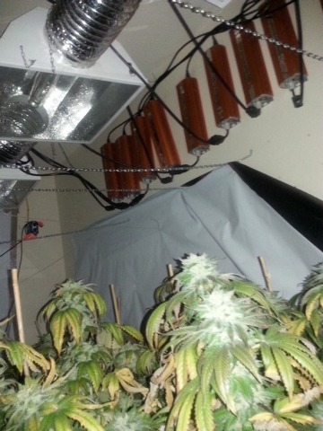 Pot plants are shown in a Las Vegas grow house in January 2014. Las Vegas police confiscated more than $5 million in marijuana in four different grow houses from January 23-28. (Photo provided by  ...