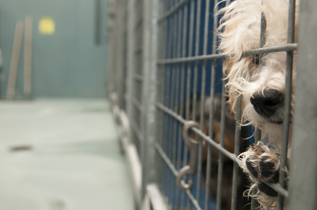 A puppy looks out of his cage at Lied Animal Shelter where 27 small-breed puppies were taken after a fire at the Prince and Princess Pet Boutique, 6870 S. Rainbow Road, on Jan. 27. The puppies, wh ...