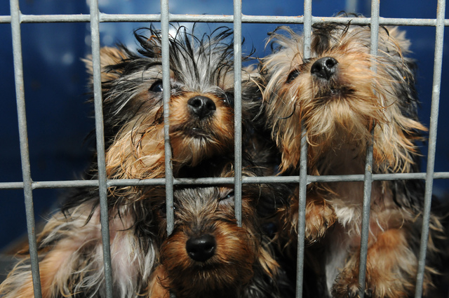 Rescued Yorkshire terriers are seen at Lied Animal Shelter in Las Vegas where they were taken to after a pet shop arson, Friday, Feb. 28, 2014. A total of 27 puppies were rescued and taken to the  ...