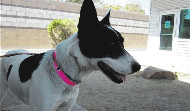 Robin The Animal Foundation They call me Robin because I love to fly. I'm a 1-year-old, spayed, female Australian cattle dog mix, and while I don't have wings, I do enjoy long walks and perhap ...