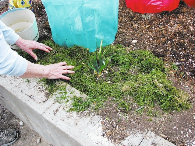Helen Brown places lawn clippings for mulch in her garden at her home on the foothills of Frenchman Mountain on Feb. 26. (F. Andrew Taylor/View)