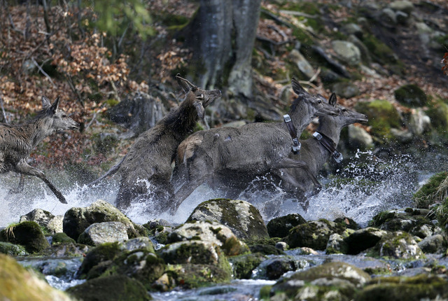 Near the town of Harrachov, Czech Republic, on Tuesday, April 8, 2014 deer cross a creek in a winter enclosure. The Iron Curtain was traced by a real electrified barbed-wire fence that isolated th ...