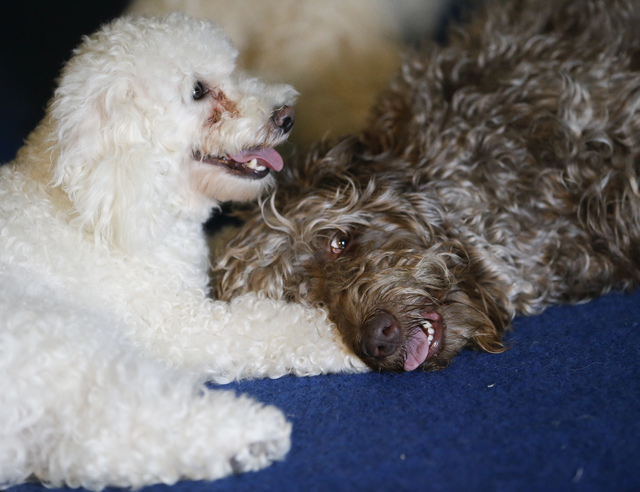 In this photo taken on Tuesday, April 22, 2014, two of the Olate performing dogs, Copo, left, and Bella take a break after a training session in Sorrento, Fla. Since the father and son took their  ...
