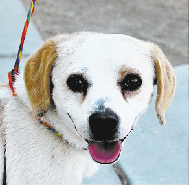 Abel The Animal Foundation My name is Abel (I.D. No. A771605), and I'm a 2-year-old male beagle. I'm ready and waiting for my new forever home. I'm easy to please, as I love daily walks and  ...