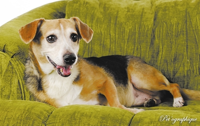 Bentley Southern Nevada Beagle Rescue Bentley is an 8-year-old male beagle. We pulled him out of a local shelter as he was about to be euthanized for his age. He is active and gets along with othe ...