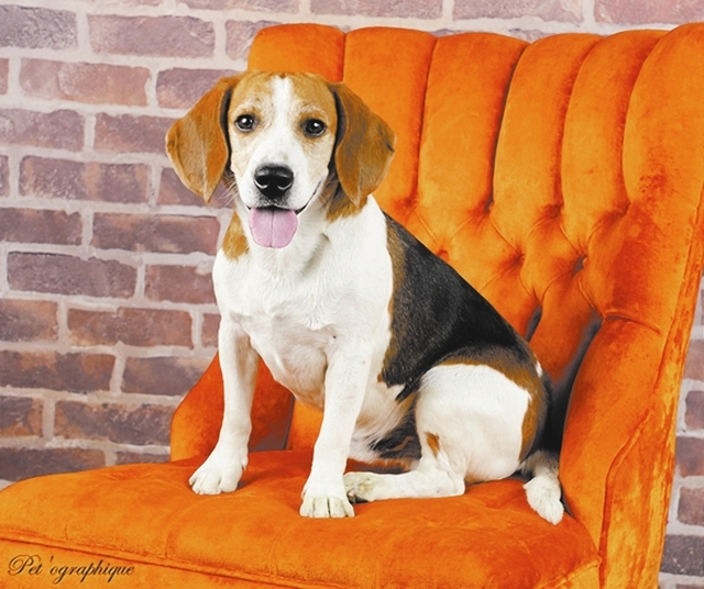 Hendrix Southern Nevada Beagle Rescue Hendrix is a 4-year-old male beagle. He is a playful and active boy who needs a yard. He gets along great with cats and other dogs but does have some food agg ...