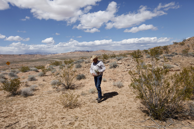 Cliven Bundy walks on land where he runs cattle near Bunkerville, Nev. Tuesday, April 1, 2014. The Bureau of Land Management has been closing off the Gold Butte area near Bunkerville in preparatio ...