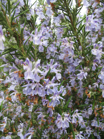 Dean Fosdick/The Associated Press Many herbs, like Rosemary, are attractive to look at as well as to taste. You can use them as a garnish or fragrant centerpiece on the dining room table.