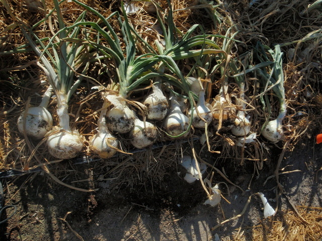 Now is the time to plant onion sets.