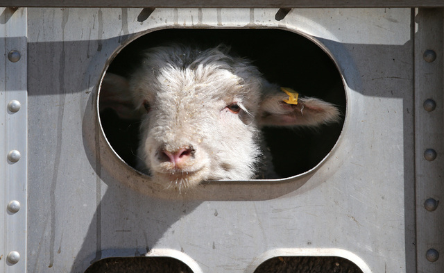 One of the lambs in a truckload of sheep watches the action as unloading begins in Carson City on Thursday, April 17, 2014. Approximately 1,000 ewes and lambs will graze the hills along the west s ...