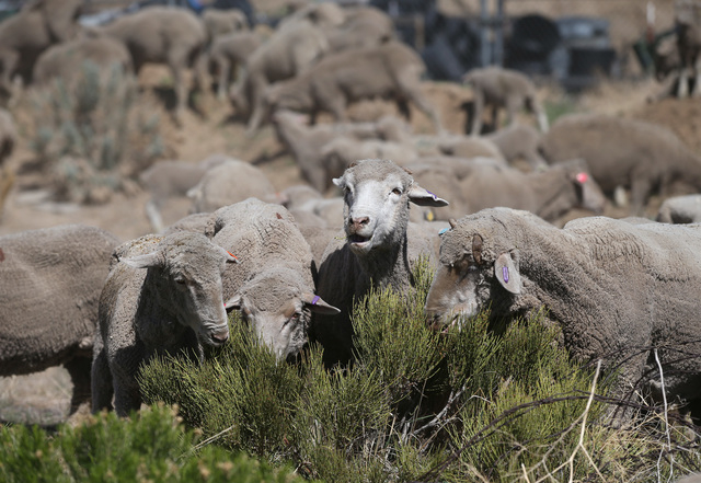 The first truckload of sheep arrive in the hills along the western edge of Carson City on Thursday, April 17, 2014 as part of a four-week grazing program to help reduce cheat grass and other fire  ...