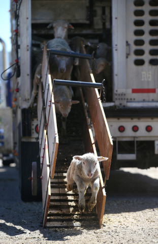 Crews unload a truckload of sheep in Carson City on Thursday, April 17, 2014. Approximately 1,000 ewes and lambs will graze the hills along the west side of Carson City as part of a program to red ...