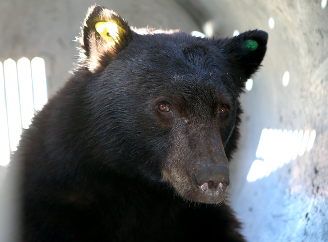 A 350-pound adult male black bear awaits release in a Nevada Department of Wildlife trap in Carson City on Wednesday, Oct. 23, 2013. (Cathleen Allison/Las Vegas Review-Journal)