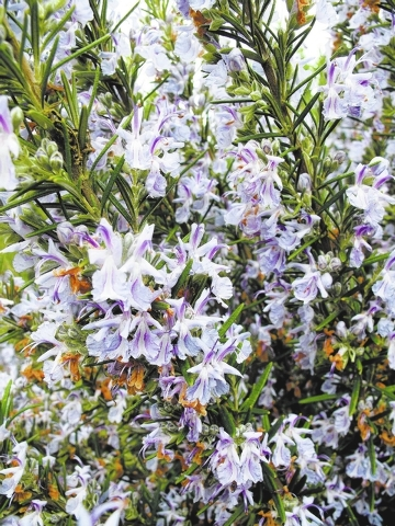 This April 26, 2013 photo shows a Rosemary plant on residential property near Langley, Wash. Many herbs, like Rosemary, are attractive to look at as well as to taste. You can use them as a garnish ...