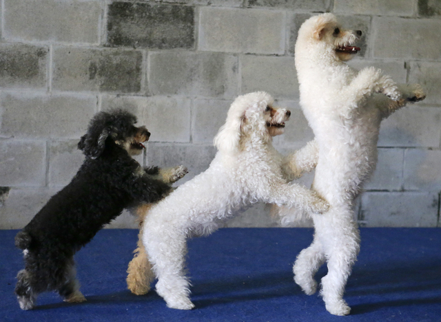 In this photo taken on Tuesday, April 22, 2014, several of the Olate performing dogs, from left, Loca, Copo and Toby, practice during a training session in Sorrento, Fla. The Olates spend more tha ...