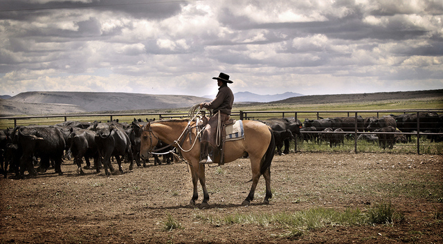 A cowboy watches the herd during branding on June 19, 2013, at a ranch north of Elko that actor Bing Crosby owned in 1940s and '50s. (Jeff Scheid/Las Vegas Review-Journal)