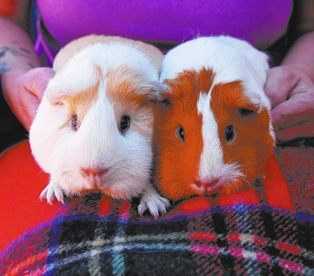 Dolly & sunflower Nevada SPCA We are baby sisters, and we are bonded for life, but we have plenty of love to share. We are American breed guinea pigs, 6 to 9 months of age, and learning to trust t ...