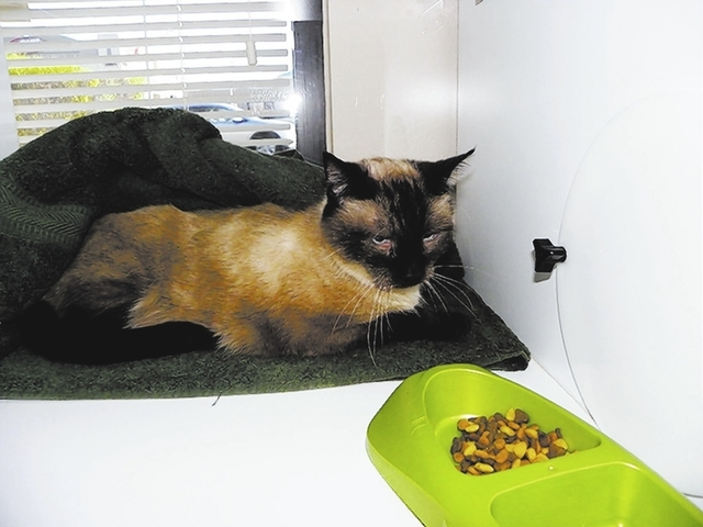 cash Paws 4 Love Cash is an 8-year-old male Siamese. He has the greatest blue eyes and a great demeanor.  He was found in a neighborhood begging for food. He is in great health and loves to be pet ...