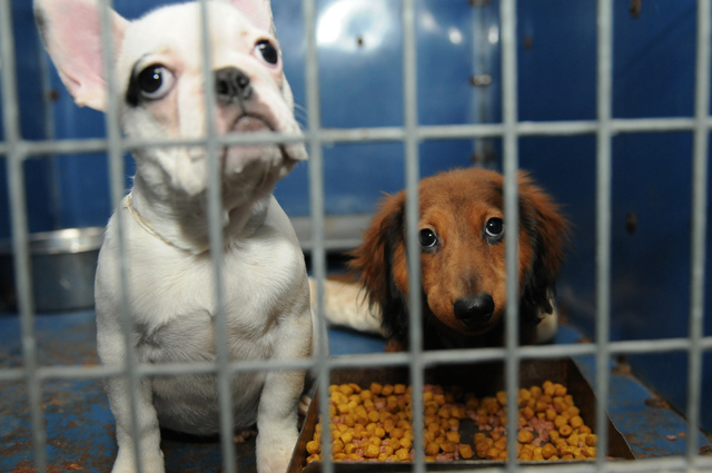 A French bulldog, left, and a dachshund are seen inside their cage at Lied Animal Shelter in Las Vegas Friday, Feb. 28, 2014. A total of 27 puppies were rescued and taken to the shelter where they ...