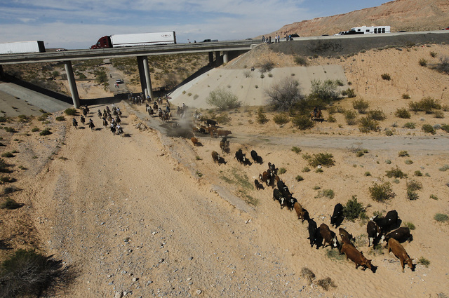 The Bundy family and their supporters drive their cattle back onto public land outside of Bunkerville after they were released by the BLM on April 12, 2014. (Jason Bean/Las Vegas Review-Journal)