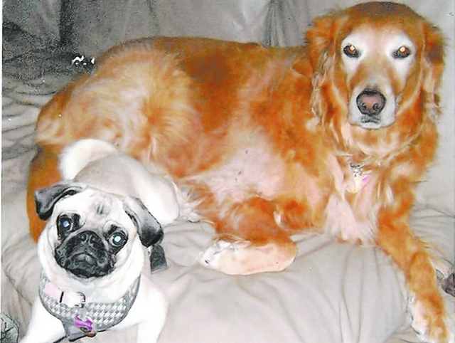 """Robert and Bernie Masco of Las Vegas shared this photo of Tootsie, left, and Abbie. """"The golden retriever, Abbie, is 9 years old. We got her from the Golden Retriever Rescue six years ago. The p ..."""