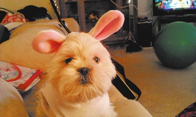 "Las Vegas resident Lori A. Masuda said, ""This is a my Shih Tzu, Allie. Happy Easter."""