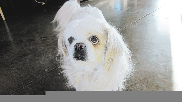 """Blue Diamond resident Barbara Luke shared this photo of Killer, adding, """"This little Pekingese wandered into our lives about eight years ago. Killer has become a regular fixture around Blue Diam ..."""