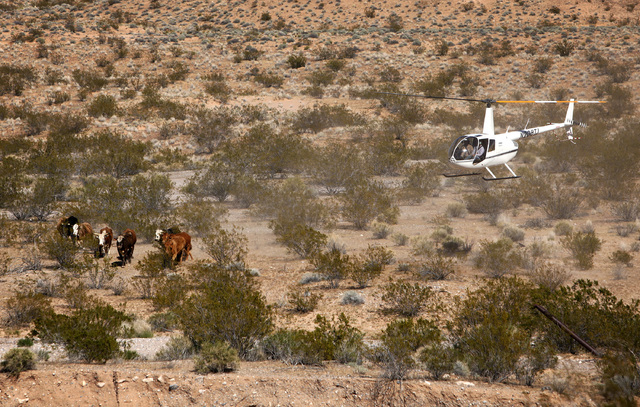 Contractors for the Bureau of Land Management round up cattle belonging to Cliven Bundy with a helicopter near Bunkerville Nev. Monday, April 7, 2014, 2014. The Bureau of Land Management has begun ...
