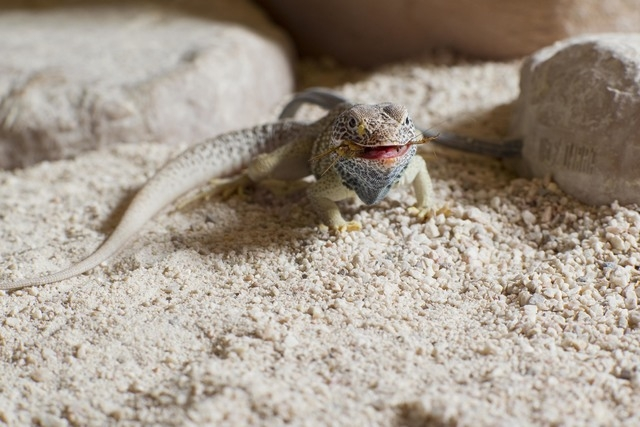 A lizard is fed at the Springs Preserve, 333 S. Valley View Blvd., where activities, shows and tours are planned through April for families and children during spring break. (Special to View)