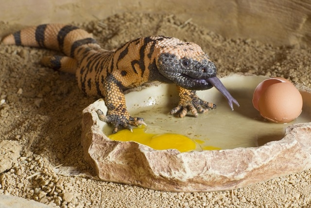 A gila monster eats at the Springs Preserve, 333 S. Valley View Blvd., where activities, shows and tours are planned through April for families and children during spring break. (Special to View)