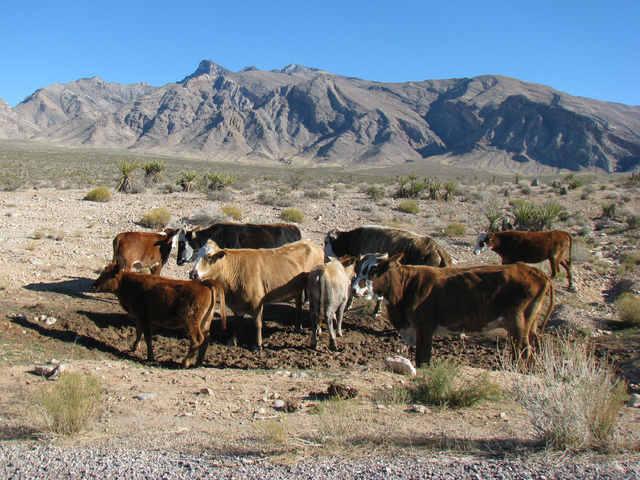 """""""Trespass cattle"""" roam the Gold Butte area in this file photo. The BLM has plans to round up these cattle. (F. Andrew Taylor/Review-Journal File)"""