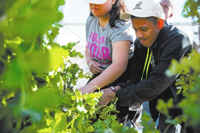 Daniel Bautista and other Desert Oasis High School students pick peas March 20 at the school, 6600 W. Erie Ave. Special education teacher Jennifer Davis hopes the 14 garden beds will increase to 4 ...