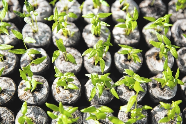 Peppers wait to be planted at Desert Oasis High School. (Samantha Clemens/View)