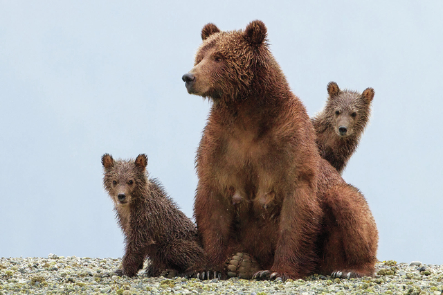 Disneynature's BEARS characters: Sky, Scout & Amber (Courtesy, Keith Scholey, ©Disney)