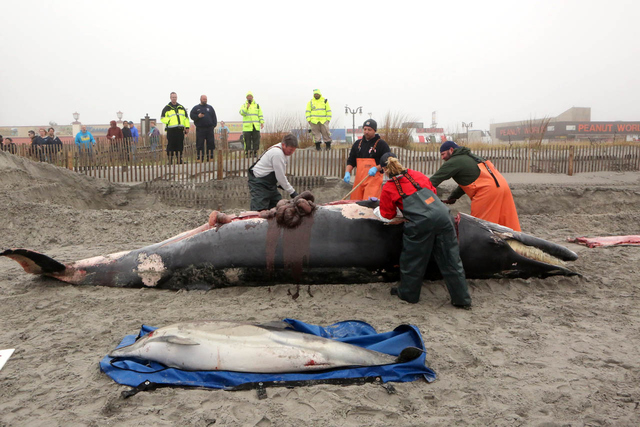 Bob Schoelkopf, left, director of the Marine Mammal Stranding Center, looks over a minke whale that washed up along with a common dolphin, in Atlantic City, N.J., Thursday, May 1, 2014. (AP Photo/ ...