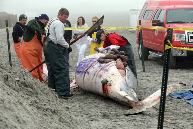 Bob Schoelkopf, left, director of the Marine Mammal Stranding Center, looks over a minke whale that washed up along with a common dolphin, in foreground,  in Atlantic City, N.J., Thursday, May 1,  ...